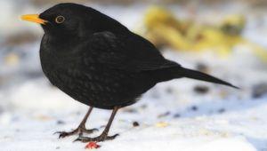 amsel vogelfutter jetzt online bestellen vogel und naturschutzprodukte einfach online kaufen. Black Bedroom Furniture Sets. Home Design Ideas