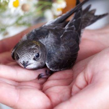 mauersegler nistkasten jetzt online bestellen vogel und naturschutzprodukte einfach online kaufen. Black Bedroom Furniture Sets. Home Design Ideas