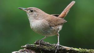 Zaunkonig Nistkasten Jetzt Online Bestellen Vogel Und