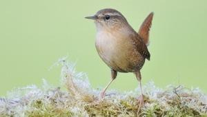 Zaunkonig Vogelfutter Jetzt Online Bestellen Vogel Und