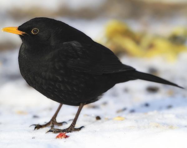 vogelpfeife amsel gummi vogel und naturschutzprodukte einfach online kaufen. Black Bedroom Furniture Sets. Home Design Ideas